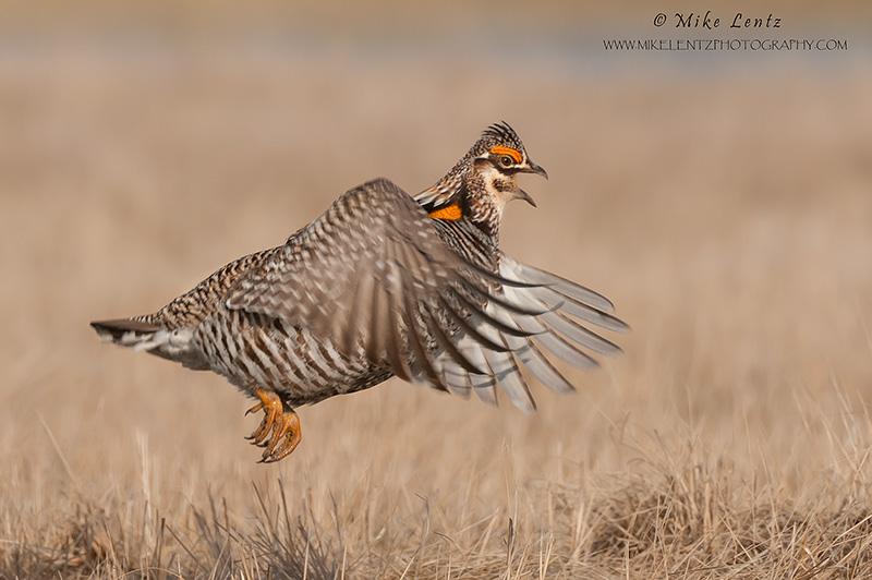 Prairie chicken jumps off Lek