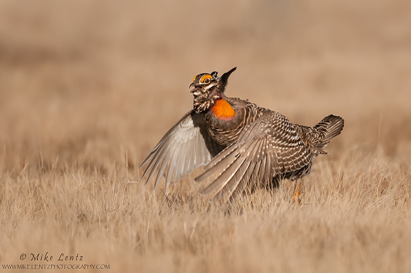Prairie chicken about to jump