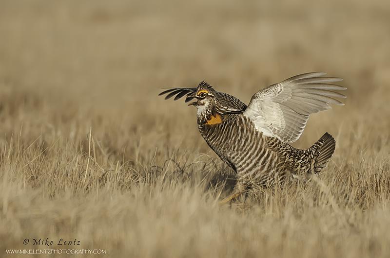 Prairie chicken aggresive stance