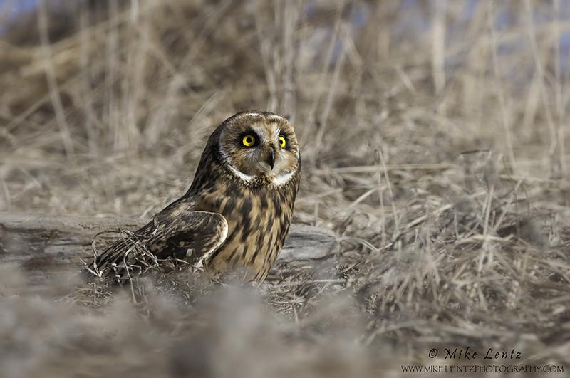 Short-eared Owl on prairie grass hillside
