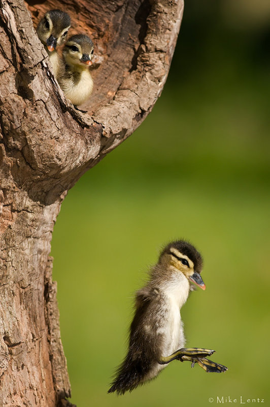 Wood duck babies leaving the nest