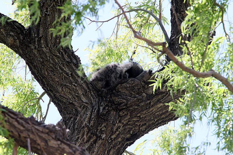 IMG_2680 maybe sleeping raccoonfixedfixed.jpg