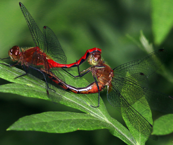 Janes Meadowhawks Mating