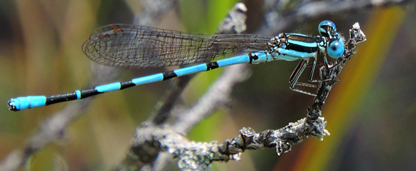 Seepage Dancer Male
