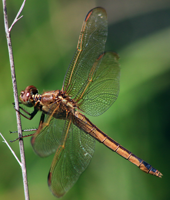 Needhams Skimmer Female