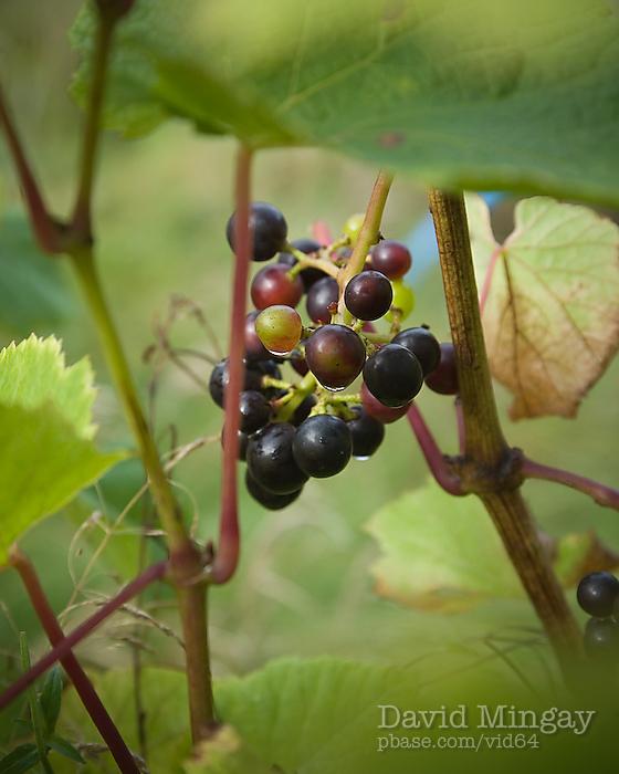 Oct 4: Grapes