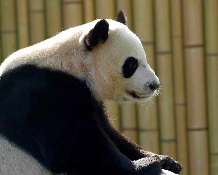 Giant Panda His name is Da Mao