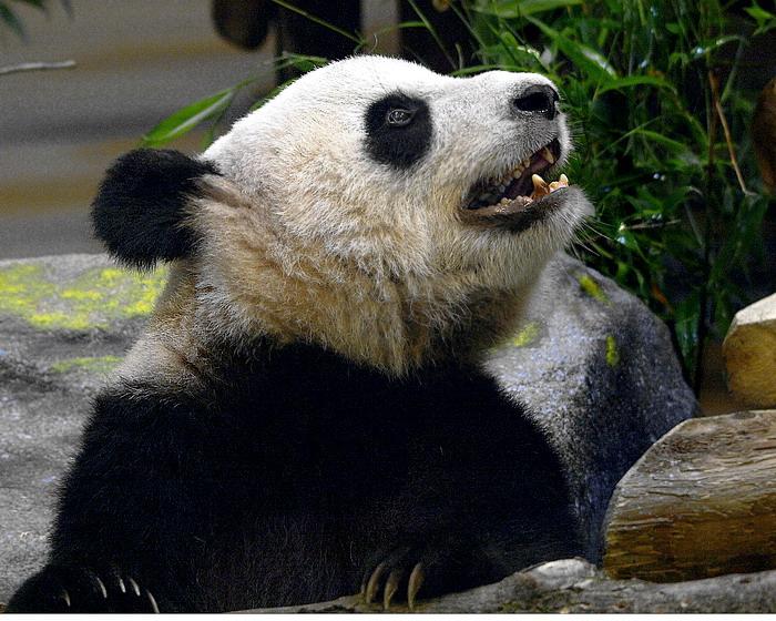 Er  Shun  ( Female  Giant  Panda )