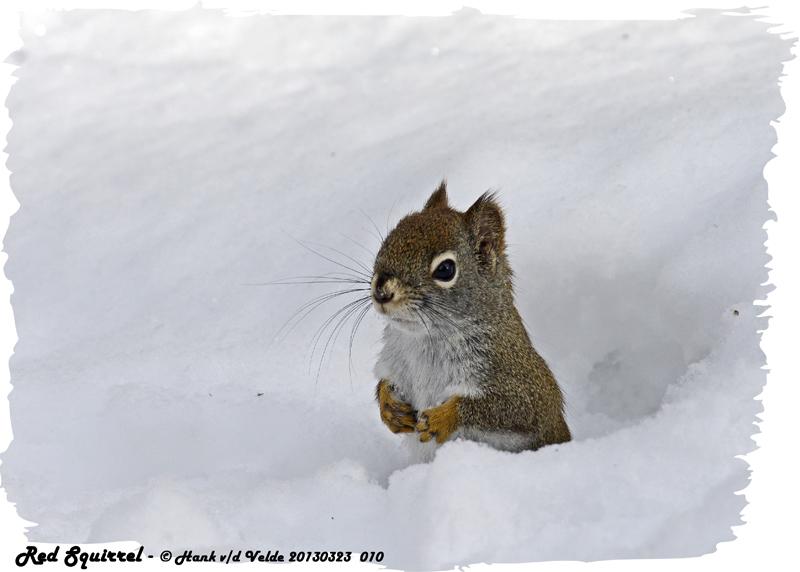20130323 010 Red Squirrel.jpg