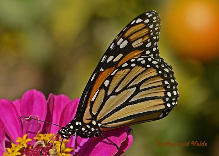 20120917 095 Monarch HP NX2.jpg
