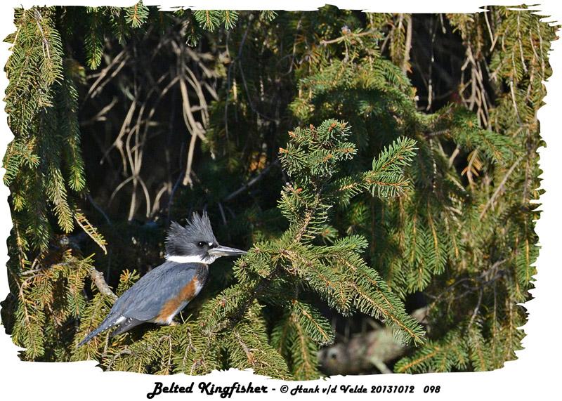 20131012 098 Belted Kingfisher.jpg