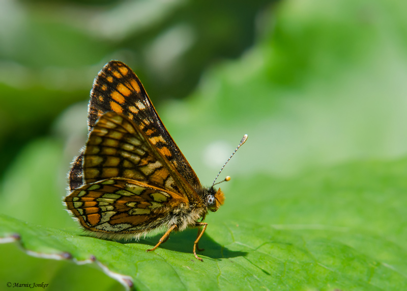 Oranjebonte Parelmoervlinder - Asian Fritillary