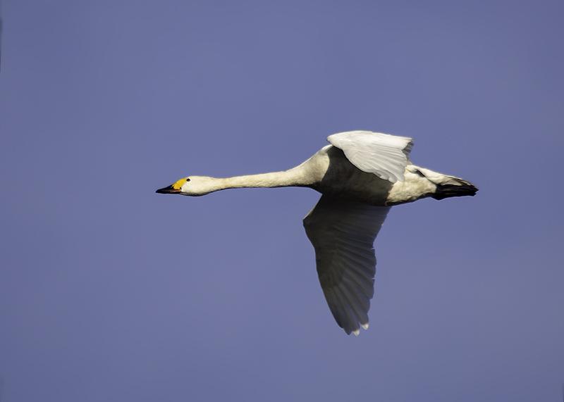 Kleine Zwaan - Bewicks Swan