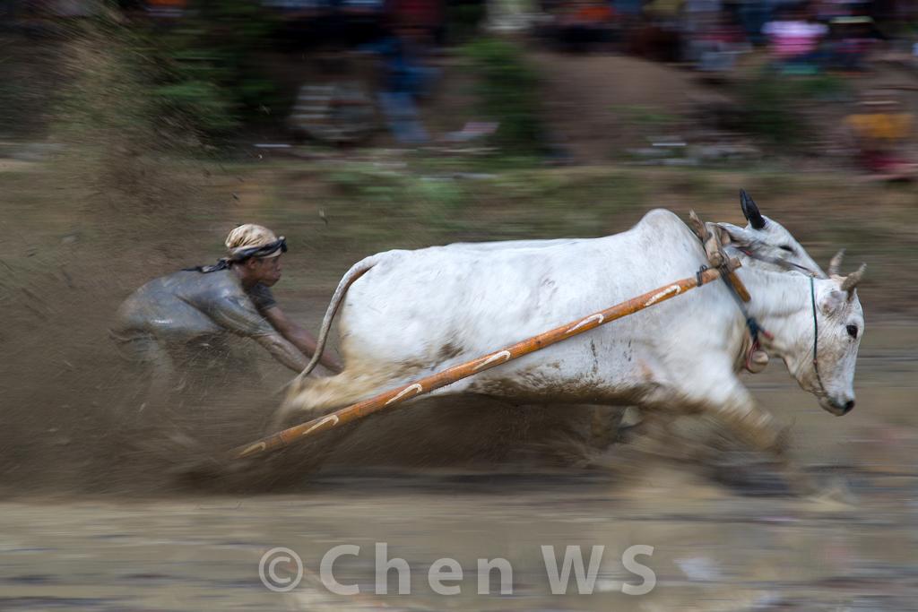 Panning shot of the bull race