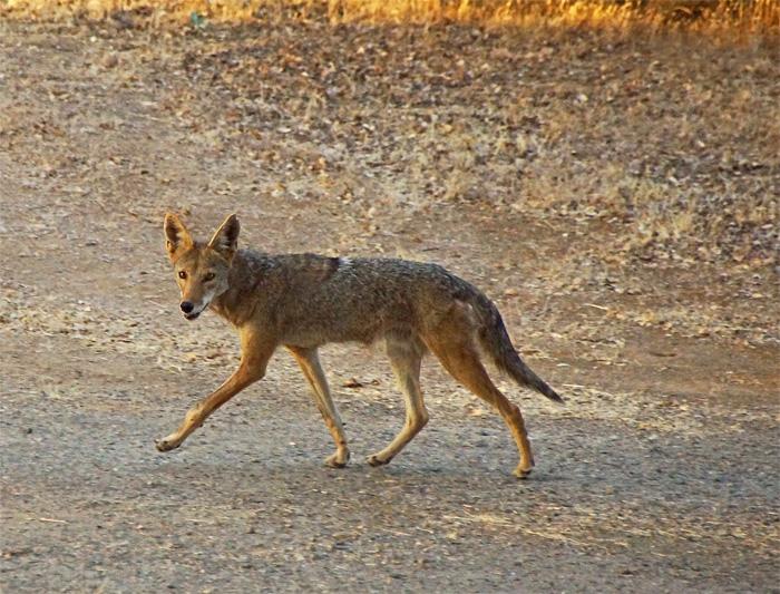 Coyote 1A.jpg