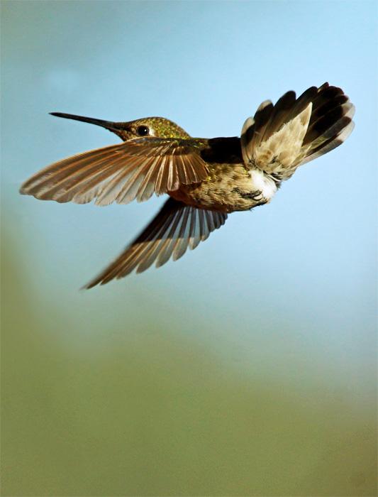 Hummingbird (1)A.jpg