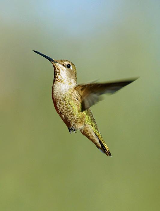 Hummingbird (4)A.jpg