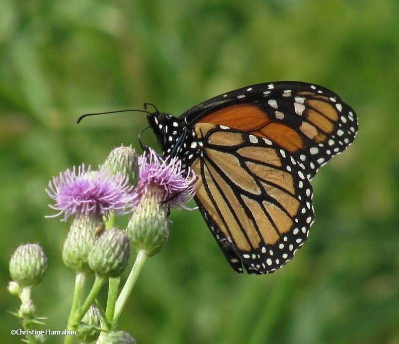 Monarch butterfly (<em>Danaus plexippus</em>)