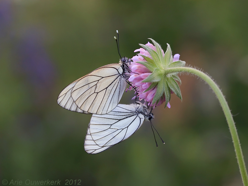 Groot Geaderd Witje - Black-veined White - Aporia crataegi