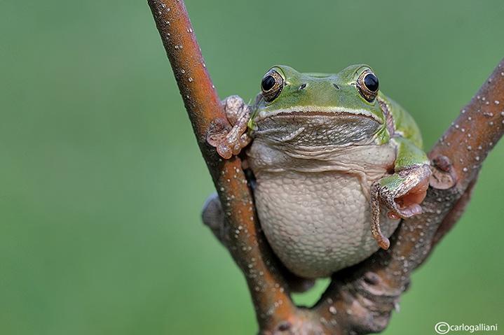 Raganella italiana-Italian Tree Frog   (Hy!a intermedia)