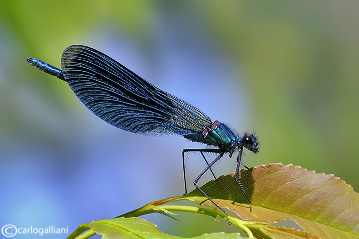 Calopteryx splendens male