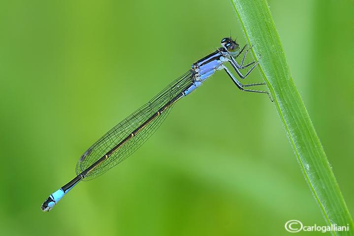 Ishnura elegans male