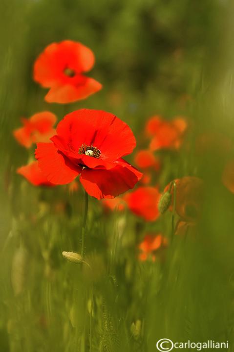 Papaver rhoeas - Poppies