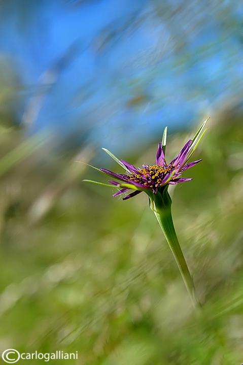 Tragopon porrifolius