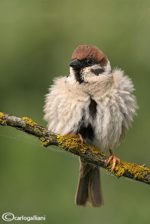 Passera mattugia -Eurasian Tree Sparrow (Passer montanus)