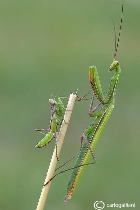 European Dwarf Mantis - Ameles spallanzania & Mantis religiosa