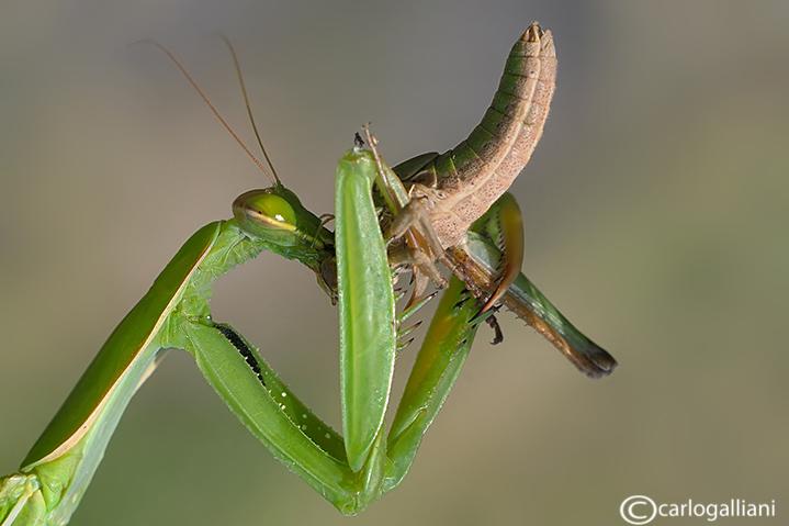 Predation of Mantis religiosa on Locusta migratoria