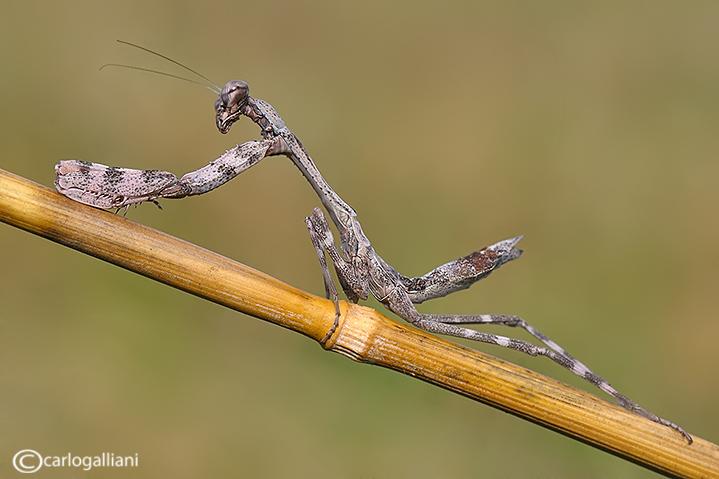 Parasphendale affinis - Etiopia e Kenya