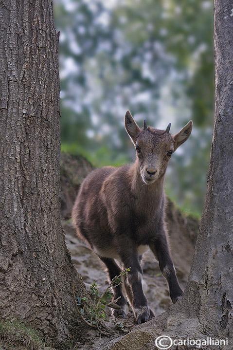 Stambecco-Alpine Ibex (Capra ibex) - Juvenile