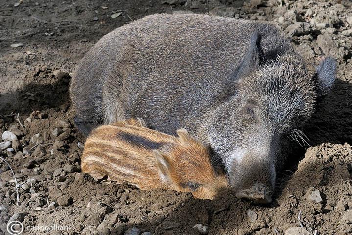 Sleeping - Wild boar (Sus scrofa )