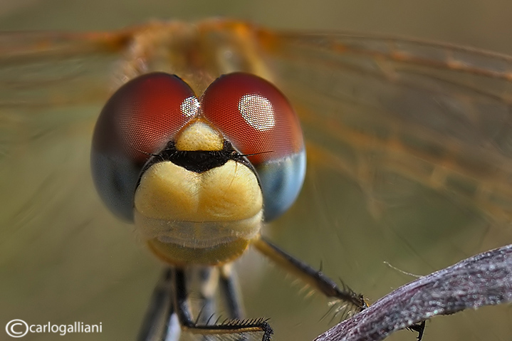 Sympetrum fonscolombei