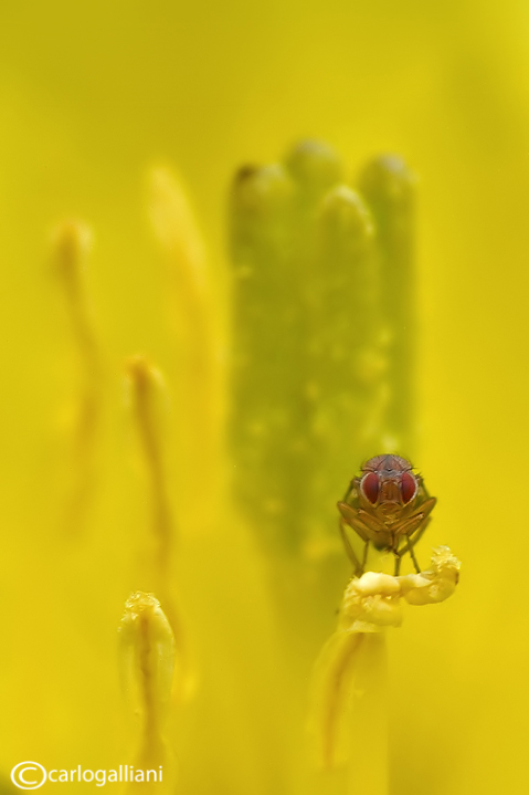 Microscopic fly