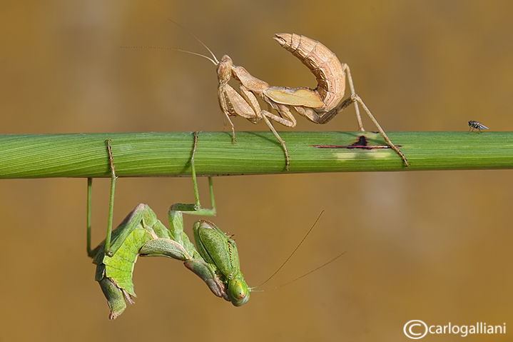 European Dwarf Mantis - Ameles spallanzania  - Mating
