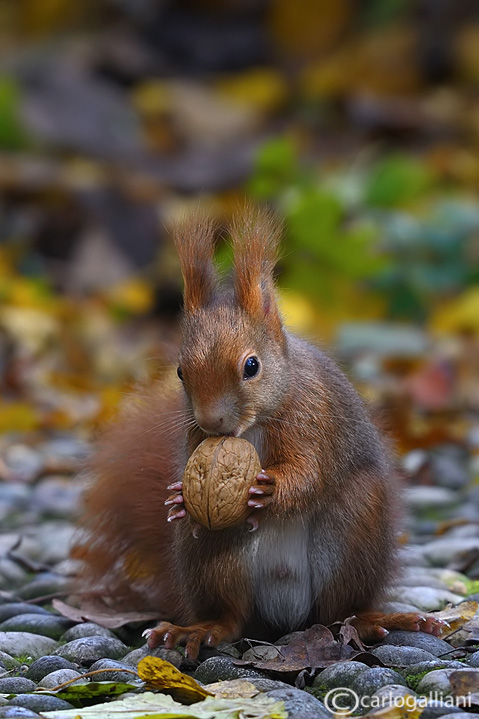 Red squirrel -  (Sciurus vulgaris)