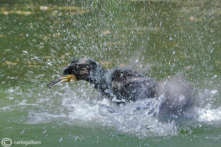 Cormorano- Great Cormorant (Phalacrocorax carbo)