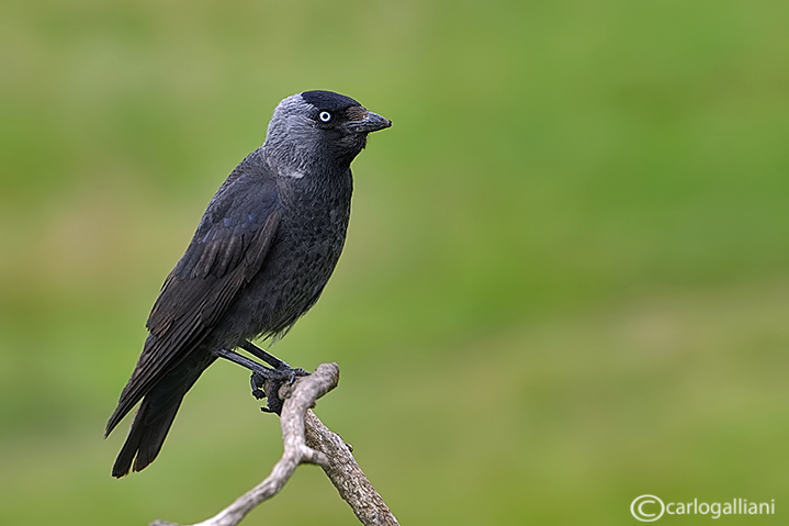Taccola -Eurasian Jackdaw (Corvus monedula)