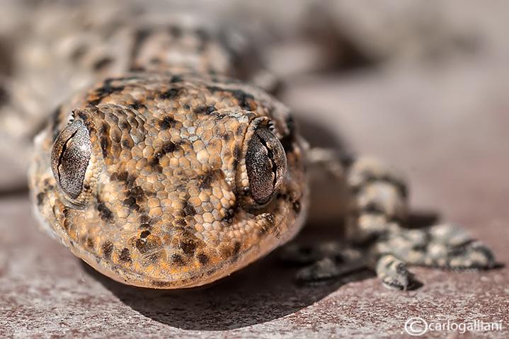 Geco verrucoso-Turkish Gecko (Hemidactylus turcicus )