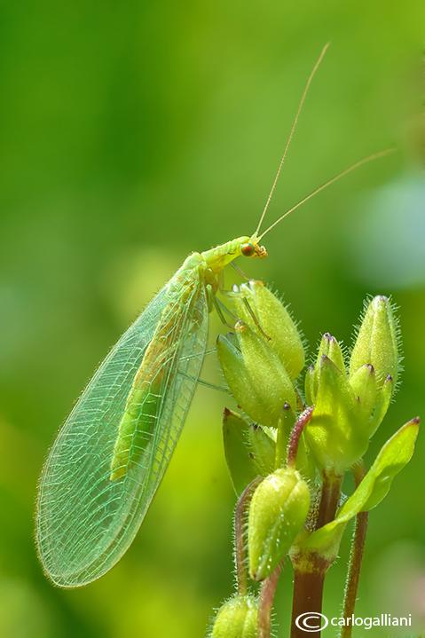 Bộ sưu tập côn trùng 2 - Page 25 155098146.mr6x6Q4v.chrysoperlacfpallida14