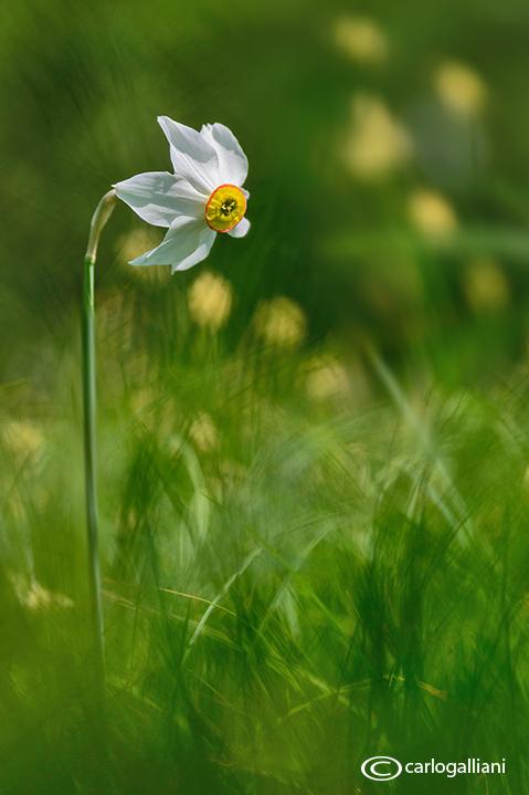 Narcisus tazeta