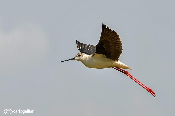 Cavaliere dItalia-Black-winged Stilt  (Himantopus himantopus)