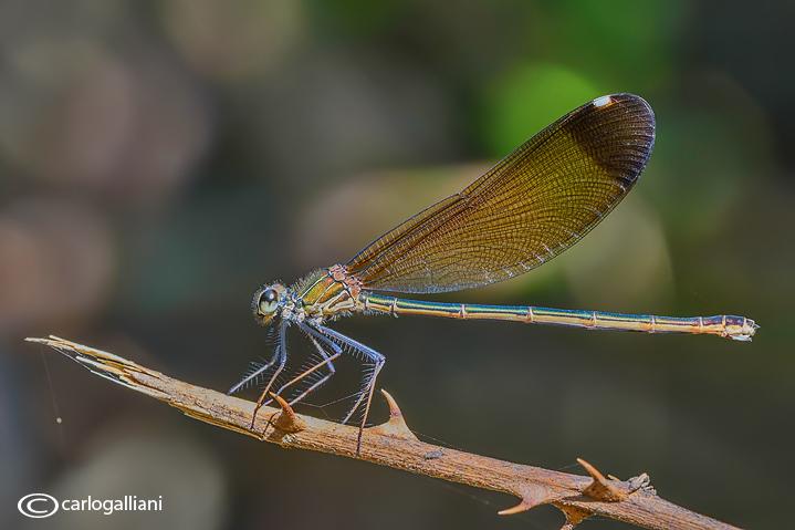 Calopteryx haemorrhoidalis female