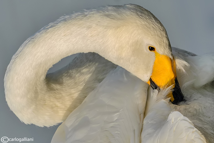Cigno selvatico-Whooper Swan (Cygnus cygnus)