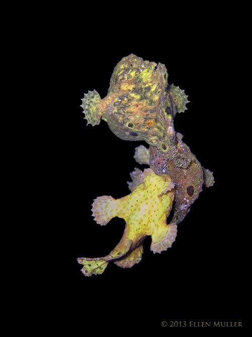 3 Frogfish Spawning
