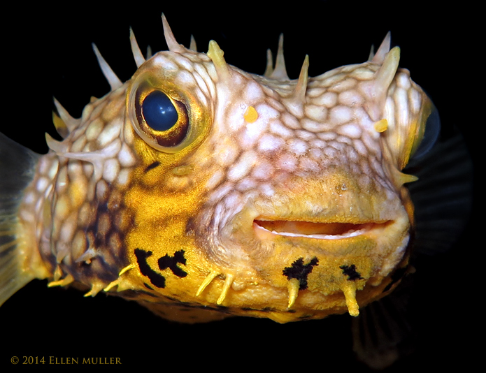 Happy Burrfish