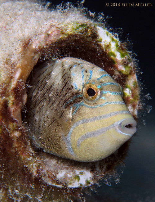 Juvenile Queen Triggerfish