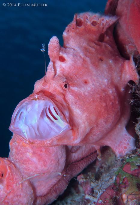 Pink Frogfish Yawning